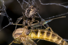 Spider with prey (pointnshoot) Tags: spider haywardregionalshoreline haywardshoreline canonmacroringlitemr14ex canonef100mmf28lmacroisusm