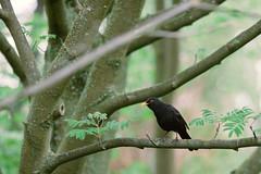 Common blackbird (Turdus merula) (Jonas Tana) Tags: turdusmerula commonblackbird mustarastas koltrast