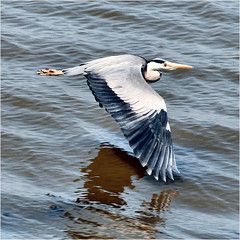 flying away........... (atsjebosma) Tags: summer bird heron june juni waddenzee wings thenetherlands zomer friesland reiger vogel harlingen 2016 vleugels atsjebosma