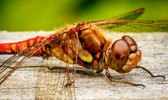 Common Darter  Male Dragonfly (Superali007) Tags: macro nature canon woodland bug insect scotland woods dragonfly wildlife commondarter malecommondarter canon7d ef100mmf28lisusmmacro