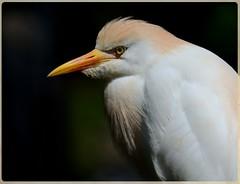 "Cattle Egret ... posed (Christine Fusco ~ ""Jersey Strong"") Tags: white nature southcarolina southern breeding wetlands carolina marsh migration egret plumage cattleegret wader bubulcusibis"