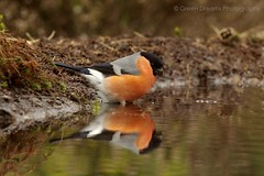 Bullfinch (GreenDreamsPhotography) Tags: reflection woodland pond bos bullfinch vijver reflectie hanbouwmeester goudvink pentaxk5