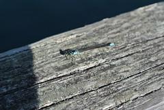 April Bicycle Camping day 4 - dragonfly (Spiral Cage) Tags: april wa pugetsound orcasisland sanjuanislands anacortes bicycletouring springtour eastsound moranstatepark fidalgoisland bicyclecamping cyclotouring aprilbicyclecamping aprilbicyclecampingday4