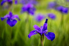 Blue Irises (Jim.Collins) Tags: flowers iris flower nature zeiss irises otus saveearth awesomeblossoms otus1455