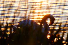 prayer (chageco) Tags: sunset lake muteswan