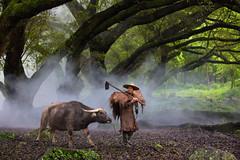 The Farmer and his water buffalo (Ben-ah) Tags: china travel trees cow buffalo woods farmer fujian banyan waterbuffalo xiapu