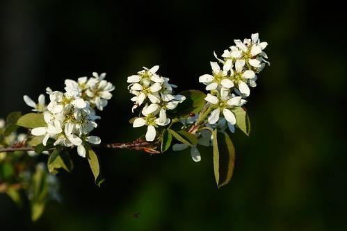 Amelanchier spicata (Rosaceae) (Pohjois-Haaga, Helsinki, 20160515)