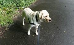 Gracie pausing in the street (walneylad) Tags: dog pet cute puppy spring gracie lab labrador may canine labradorretriever