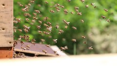 Photographing the bees without getting stung... (Christian ) Tags: nature forest outdoor bees natur bee wald biene bienen