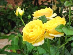 IMG_2599  - era di maggio (molovate poco presente) Tags: digital canon is maria rosa ixus giallo cielo mio fiore tre maggio giardino roseto poeta letteratura mese bocciolo 980 alcamo siepe aiuola volate ciullodalcamo tafme molovate rosafrescaaulentissima