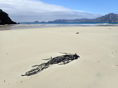 Kelp at Sealers Bay (dracophylla) Tags: newzealand codfishisland whenauhoa