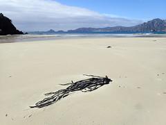 Kelp at Sealers Bay (dracophylla) Tags: newzealand codfishisland whenauhoa