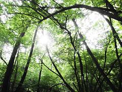 Green energy (Lumase) Tags: wood trees sunlight green trunks