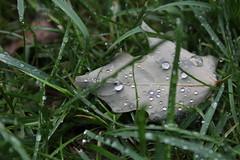 After the Rain 3/9 (emilyholmberg1) Tags: summer plant flower water rain closeup leaf raindrop afterrain