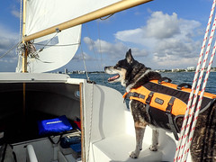Thursday evening sail - 06.23.16 (dsrphotography) Tags: sailboat boat mutt mix husky sailing dunedin mariner clearwater oday downtownclearwater