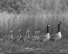 Weg hier! Der Schwan kommt! (wpt1967) Tags: bw bird spring sw ruhrgebiet brantacanadensis vogel frhling kanadagans ruhrpott castroprauxel canon100300mm erinpark eos60d wpt1967