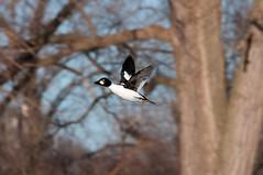 2016 Common Goldeneye In Flight 7 (DrLensCap) Tags: park chicago bird robert harbor duck illinois flight il lincoln montrose fowl common kramer goldeneye in