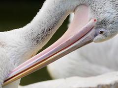 P1010500 (lychee_vanilla) Tags: bird animal zoo pelikan mnster vogel pelecanus zoomnster