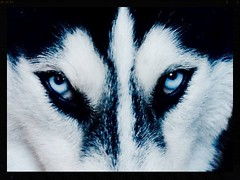 Winter is coming (danielfagan) Tags: winter game eyes husky wolf loki stark thrones fireandice gameofthrones direwolf winterfell