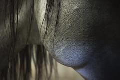 (Giulia Orsatti) Tags: horses horse cheval gold details dettagli cavalli cavallo pferd oro
