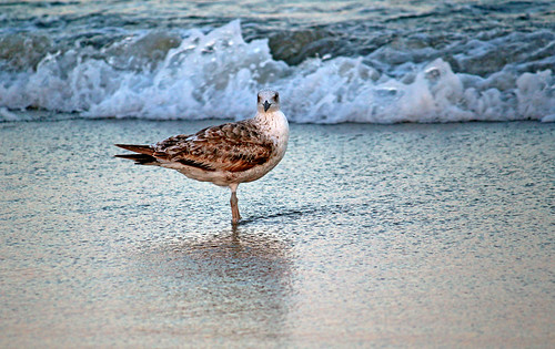 Young Gull, Good Harbor_6018