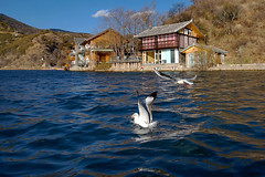 Lugu Lake (P.C. Alice) Tags: china blue winter lake bird water asia gulls sony yunnan  2014  inspiredbylove favorites50 favorites80 favorites100 nex5r sonynex5r sonyepz1650mmf3556oss