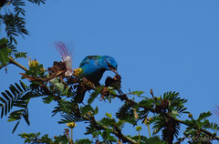 Blue Dacnis (Jenn Sinasac) Tags: panama gamboa tanager bluedacnis dacniscayana thraupidae dacnis