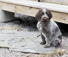 Sirpa (Jori Samonen) Tags: dog animal finland puppy hunting sipoo sirpa