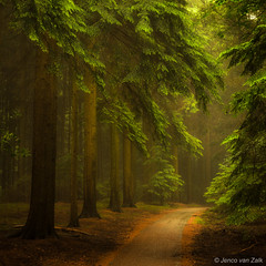 Magical woods ( Jenco van Zalk) Tags: nature speulderbos rainy trees earlymorning light summer forest woods leaf leaves green track rural pinetree broadleavedtree tranquillity square calm nopeople vista trail hiking magical fairy idyllic enchanting jenco nikon fineart