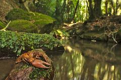 Gambero di fiume (AIIex) Tags: nikon wildlife wideangle grandangolo d90 crostaceo laowa