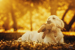 Golden Lion (Alexandremqs) Tags: pets dogs portugal pose outside golden teddy sweet expression lisbon retriever perro leon status yourbestoftoday