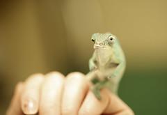 Baby Nosy Be Panther Chameleon (.stuart hamilton) Tags: lizard chameleon madagascar nosybe