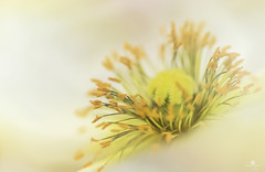 it's what's on the inside that counts (rockinmonique) Tags: flower yellow canon soft pretty pistil petal stamen bloom tamron gentle creamy filltheframe moniquew