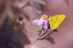 anywhere you go.... (EcOnAnDrE) Tags: flowers mountain macro nature floral yellow butterfly natural wildlife secret butterflies cyprus naturallight valley micro ecstasy nikkor naturephotography macroflowers macrolens macrophotography yellowbutterfly microlens macroworld naturepath microworld d7100 troodosmountain cyprusmountains nikond7100 econandre gefyriakoiladavalleystone econandrephotography