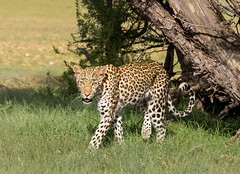 Moving into the sun (jaffles) Tags: park nature southafrica wildlife natur olympus safari leopard predator kalahari sdafrika offspring transfrontier raubkatze kgalagadi