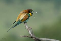 Bee Eater (Claudia Brockmann) Tags: bird nature birds natur 1001nights vgel vogel beeeater bulgarien bienenfresser 1001nightsmagiccity