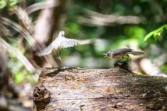 Tufted Titmouse 2016 08 (Jim Dollar) Tags: sc birds southcarolina tuftedtitmouse indianland jimdollar canon6d scenesfrommyhammock