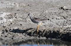 Greater Yellowlegs (Steve Huckabone) Tags: landing eden turk