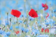 coquelicots et fleurs bleues (nicole boxberger) Tags: fleurs rouge champs bleu coquelicots