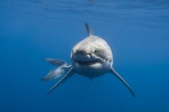 Happy Shark Week! (George Probst) Tags: ocean blue fish water mexico shark lucy underwater outdoor wildlife diving baja greatwhiteshark squalo sharkweek tiburonblanco requinblanc weiserhai