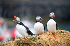 It's just a jump to the left... (OR_U) Tags: 3 birds animals closeup three iceland oru puffins timewarp 2016 hff borgarfjrureystri