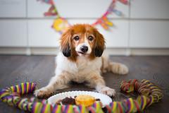 Sweet Sixteen (Maria Zielonka) Tags: alt dog dogs ennie hondje hondjes hund hunde kooiker kooikerhondje old senior