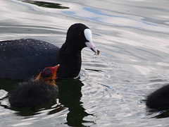 grub up (mark.griffin52) Tags: olympusem5 england hertfordshire wilstonereservoir wildlife nature bird coot
