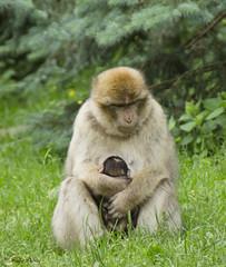 Nouveau-n Magot - Newborn Magot (Kaya.paca) Tags: mountain france nature montagne alsace newborn monkeys animaux fort singe magot nouveaun