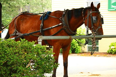 IMG_3768 (joyannmadd) Tags: amish horses intercourse pennsylvania kitchenkettlevillage farm animals lancaster coumty pa farms nature outdoors