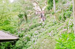 () Tags: macro film japan pentax takumar kodak bokeh 55mm 400 m42 hydrangea f18 18 55 portra  spf ajisai   filmphotography portra400  kodakportra400   supertakumar55mmf18  newportra400 newkodakportra400