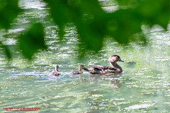 Wood Ducks (mikerhicks) Tags: canoneos7dmkii nashville oakhillestates photography radnorlakestatenaturalarea sigma18250mmf3563dcmacrooshsm spring tennessestateparks tennessee usa unitedstates wildlife woodduck geo:lat=3605679167 geo:lon=8679695833 geotagged outdoors exif:focallength=250mm exif:isospeed=1000 geo:lat=36056791666667 camera:model=canoneos7dmarkii camera:make=canon geo:lon=86796958333333 exif:aperture=63 geo:location=oakhillestates geo:state=tennessee geo:country=unitedstates exif:model=canoneos7dmarkii exif:lens=18250mm geo:city=nashville exif:make=canon