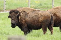 Buffalo, Fermilab. 13 (EOS) (Mega-Magpie) Tags: usa nature america canon outdoors eos illinois buffalo dupage il batavia kane fermilab winfield bison 60d