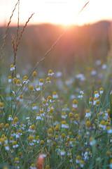 (esmeecadoni) Tags: light sunset summer sky sun sunlight flower holland green nature netherlands backlight photography europe sundown bokeh outdoor sony minimal simplicity simple minimalistic drenthe littlethings beautifulearth