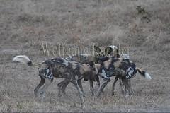 10075530 (wolfgangkaehler) Tags: africa playing nationalpark african wildlife predator zambia africanwilddog southernafrica predatory 2016 africanhuntingdog zambian southluangwanationalpark africanwilddoglycaonpictus